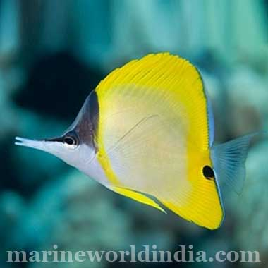 Yellow Long Nose Butterfly