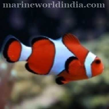 Importer of marine fish supplies of tropical fish for Clown fish price
