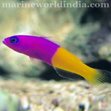 Bicolor Dottyback (Pseudochromis paccagnellae)