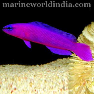 Orchid Dottyback
