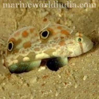 Twinspot Signal Goby