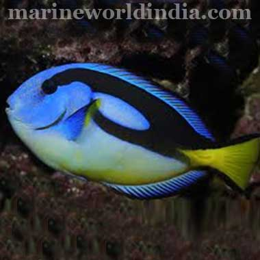 Yellow Belly Regal Tang