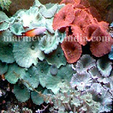 Assorted Color Mushroom Rock Rhodactis Indosinensis