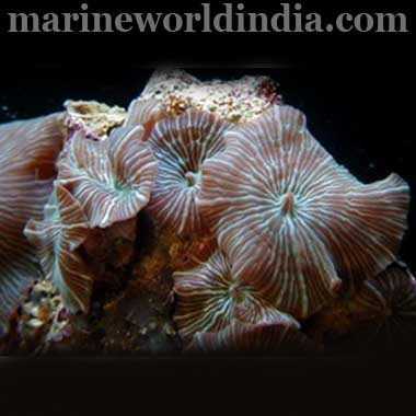 WATERMELON MUSHROOM ROCK Actinodiscus sp