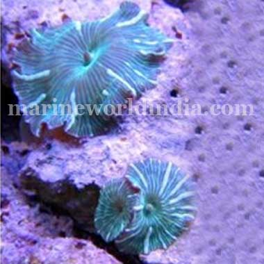 Green Stripe Mushrooms Actinodiscus sp