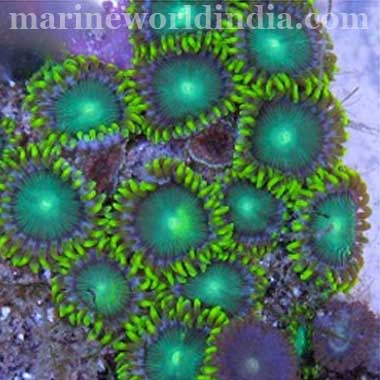 """Radioactive Dragon Eye""Hot! Zoanthid Polyps Zoanthus sp"