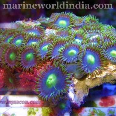 Aussie Black Goblins on Fire Zoanthid Polyps Zoanthus sp