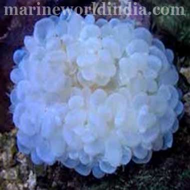 Bubble Coral, White (Plerogyra Sinuosa)