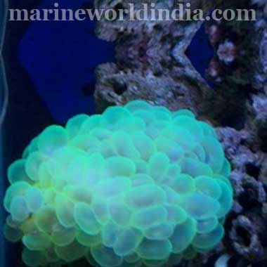 Bubble Coral, Green (Plerogyra Sinuosa)