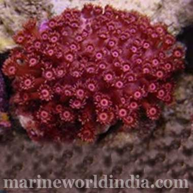 True Red Flower Pot Coral Goniopora sp